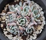 原始绿爪群生_Echeveria mexensis 'Zaragosa'