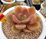 贝飞达3-1124_Echeveria sp Vista Hermosa,bifida