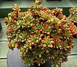 日本小松中品3-648_Aeonium  sedifolius