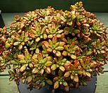 日本小松中品3-649_Aeonium  sedifolius