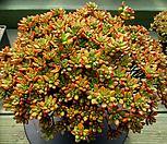 日本小松大品3-650_Aeonium  sedifolius