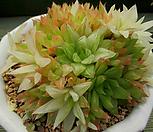 Haworthia cymbiformis f. variegata自然群生大品3-660_Haworthia cymbiformis f. variegata
