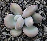 星美人_Pachyphytum oviferum
