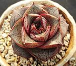 홍大和锦_Echeveria purpusorum