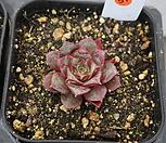 (3月)罗西马벨바라51_Echeveria longissima