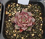 (3月)罗西马벨바라62_Echeveria longissima