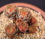 原始种罗西马群生(XC2378)_Echeveria longissima
