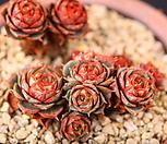 原始种罗西马(XC2379)_Echeveria longissima