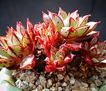 aztatlensis(老庄)_Echeveria longissima var aztatlensis