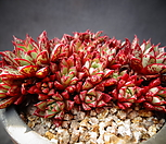 aztatlensis(25头이상)_Echeveria longissima var aztatlensis