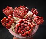 红宝石_Sedeveria pink rubby