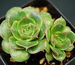 丸葉罗西马C23-104_Echeveria longissima