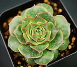丸葉罗西马C23-106_Echeveria longissima