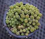 瑞典摩南群生_Monanthes polyphylla