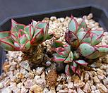 아지타트렌시스(罗西马)323-507_Echeveria longissima