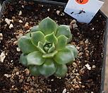 (3月)原始种罗西马계절錦23_Echeveria longissima