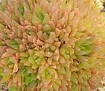 草玉露H177(3월)_Haworthia cymbiformis var. obtusa