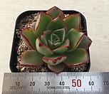 罗西马하데스-x3_Echeveria longissima