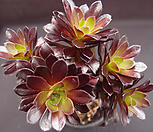 黑法师(桩紫心)_Aeonium arboreum var. atropurpureum