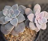 紫色喜悅群生_Graptopetalum Purple Delight