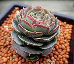 澳大利亚罗西马老庄3-718_Echeveria longissima