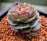 澳大利亚罗西马老庄3-719_Echeveria longissima
