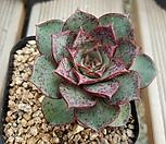 罗西马벨바라_Echeveria longissima