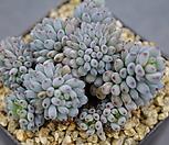 1778.蓝豆스_Graptopetalum pachyphyllum Bluebean