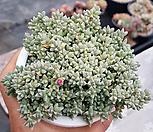 原始种碧魚蓮(老庄)_Corpuscularia lehmanni