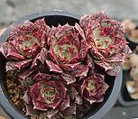 原始种罗西马群生(老庄)_Echeveria longissima