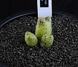 XP1414-Conophytummarginatumssp.karamoepense카라모에펜스3头_