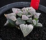 XP1430-堀川ピグマエア굴천Haworthia pygmaea3头_Haworthia pygmaea
