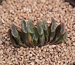 玉扇錦_Haworthia truncata variegated