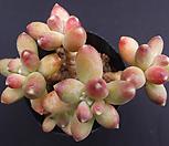 千代田之松_Pachyphytum compactum