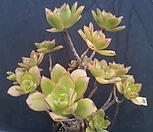 139艳日辉一体_Aeonium decorum f variegata