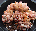 红葡萄(桩紫心)_Graptoveria Ametum