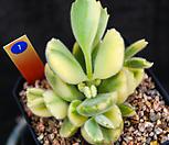 黄熊_Cotyledon tomentosa ssptomentosa