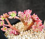 双色莲缀化_Echeveria bicolor