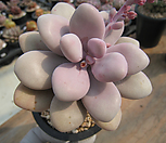 醉美人(老庄)0329-2_Graptopetalum amethystinum