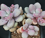 醉美人294464_Graptopetalum amethystinum