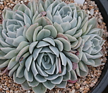 墨西哥雪球群生-11_Echeveria Mexican Snowball