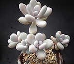 醉美人(自然)_Graptopetalum amethystinum