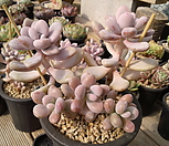 醉美人自然群生96_Graptopetalum amethystinum