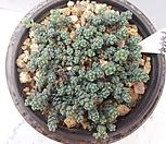 1344희星美人_Pachyphytum oviferum