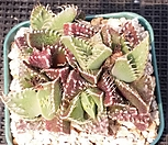 四海波b-369_Faucaria tigrina