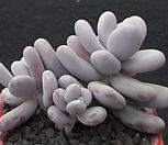 moonstone3454_Pachyphytum Oviferum Moon Stone