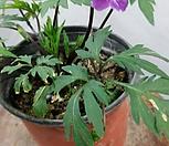 홍火祭비꽃_Crassula Americana cv.Flame