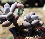 老庄moonstone群生_Pachyphytum Oviferum Moon Stone