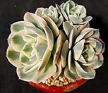 玉蝶锦4头群生-8_Echeveria Lenore Dean
