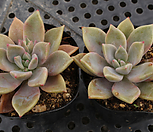 Pik Ruz[随机]_Graptoveria 'Pik Ruz'